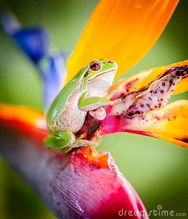 Green tree frog on bird of paradise flower 4