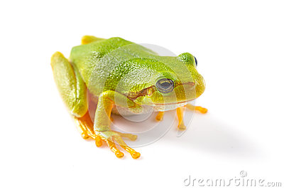 Green tree frog close up