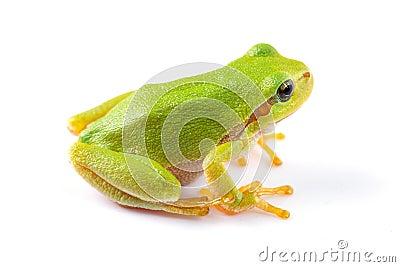 Green tree frog close up