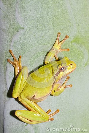 Green Tree Frog  / Hyla arborea