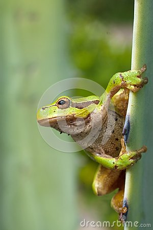 Green Tree Frog / Hyla arborea