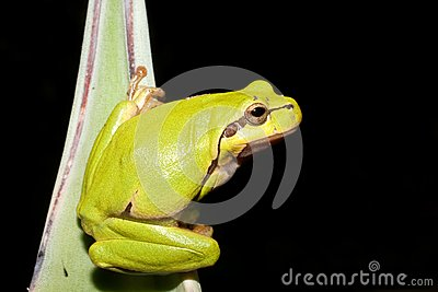 Green Tree Frog (Hyla arborea)