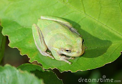 Green Tree Frog on large green leaf