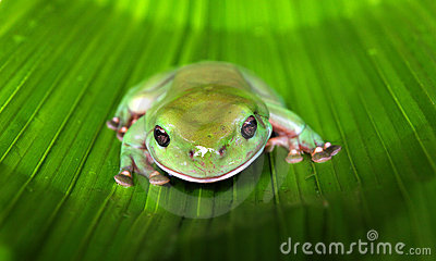 Green Tree Frog on a Large Leaf