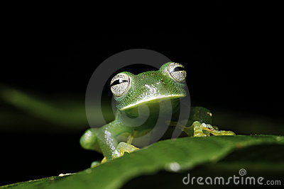 green tree frog on leaf amazon animal amphibian