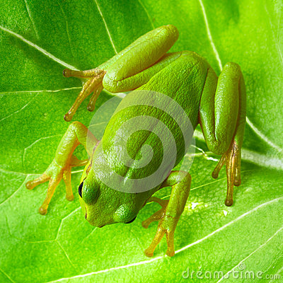 Green tree frog on the leaf