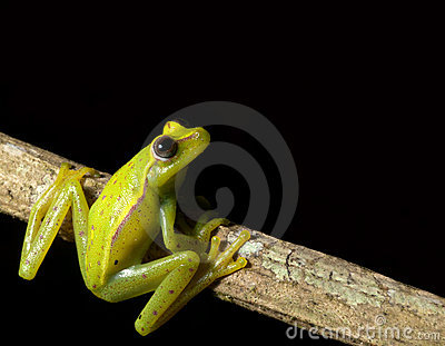 green tree frog looking up at night in rainforest