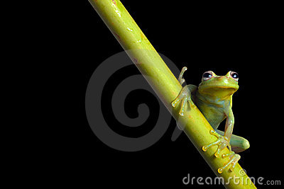 Green tree frog at night in amazon rain forest