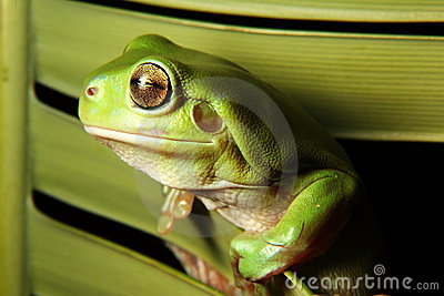 Green Tree Frog on palm