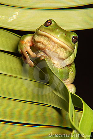 Green Tree Frog on Palm Frond