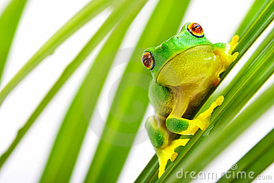 Green tree frog on palm tree