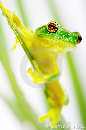 Free Green Tree Frog Sitting On Grass Blade Stock Photography - 6696072