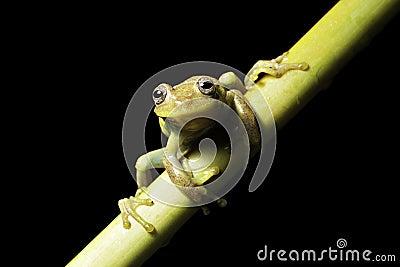 green tree frog tropical amazon jungle amphibian