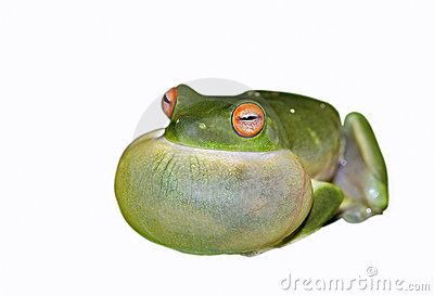 green tree frog on white