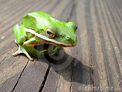 Green Tree Frog on the wooden deck