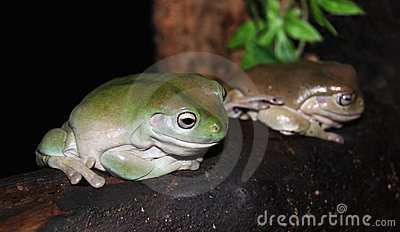 Green Tree Frogs