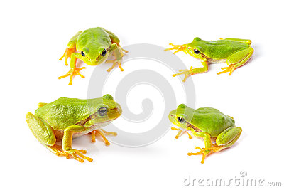Green tree frogs close up