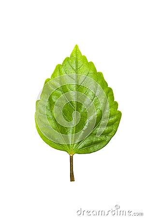Green Tree Leave Stock Photo Image 18961340
