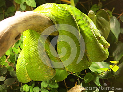 Green Tree Python Coiled in Tree