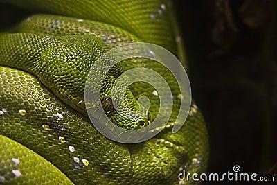 Green tree python - Morelia viridis