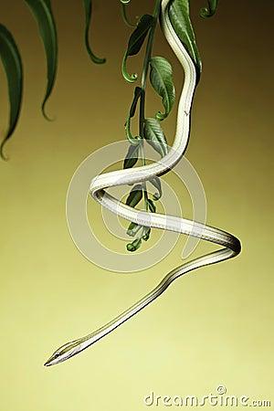 Free Green Tree Snake Amazon Rain Forest Serpent Stock Image - 14063061