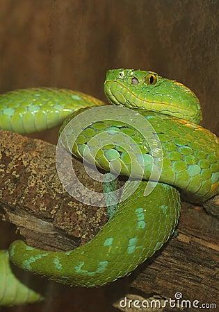 Green Tree Viper Snake