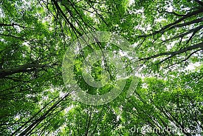 Green trees canopy