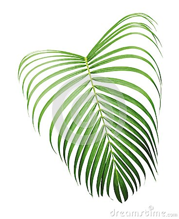 Free Green Tropical Leaf Of Yellow Palm Isolated On White Background Royalty Free Stock Photos - 108578648