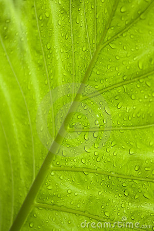 Green tropical leaf with raindrops
