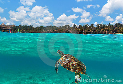 Green turtle at Caribbean beach