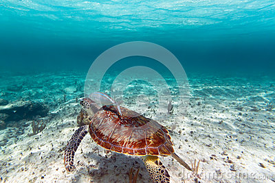 Green turtle in Caribbean sea