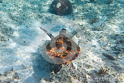 Green turtle in Caribbean sea