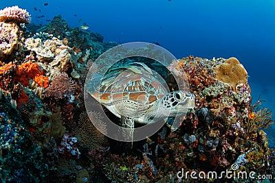 Green turtle (Chelonia mydas) in tropical reef