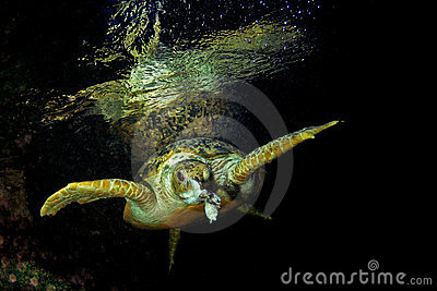 Green turtle eating fish stock photos image 15766243 for Dreaming of eating fish