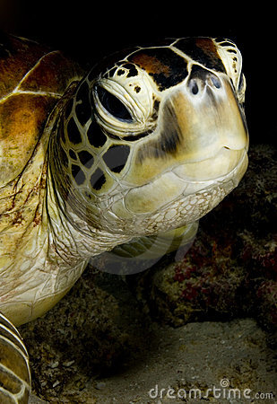 Green turtle face