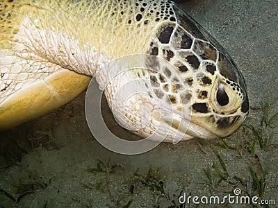 Green  turtle feeding at sea bottom