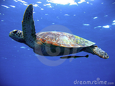 Green turtle in flight