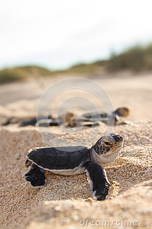 Free Green Turtle Hatchlings Royalty Free Stock Image - 40384976
