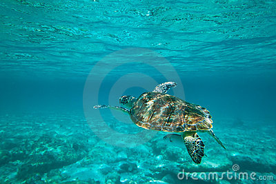 Green turtle in nature