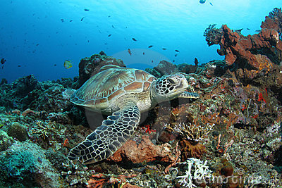 Green turtle sitting in tropical coral reef