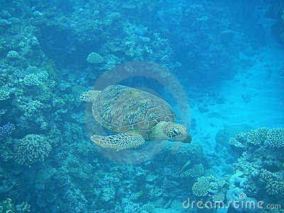Green Turtle swimming in the Great barrier reef