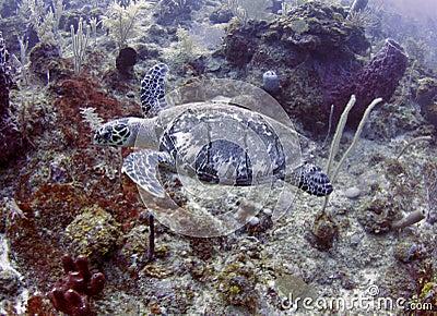 Green turtle swimming tropical,roatan,honduras