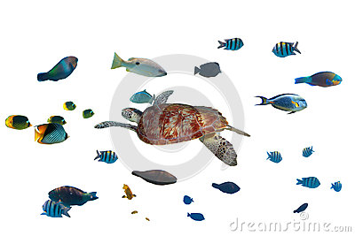 Green turtle and tropical fishes