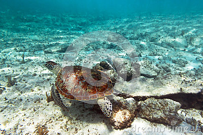 Green turtle underwater