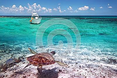 Green turtle underwater in Caribbean Sea