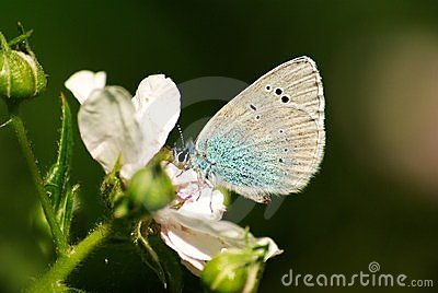 Green-Underside Blue butterfly