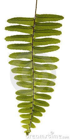 Green Unfurling Fern Isolated on White.
