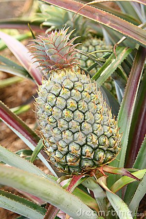 Green unripe pineapple