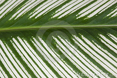 Green variegated leaf