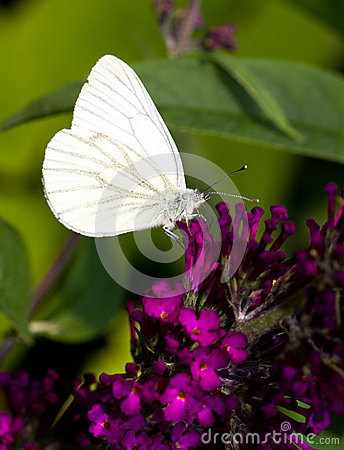 Free Green-veined White Royalty Free Stock Photo - 27695345